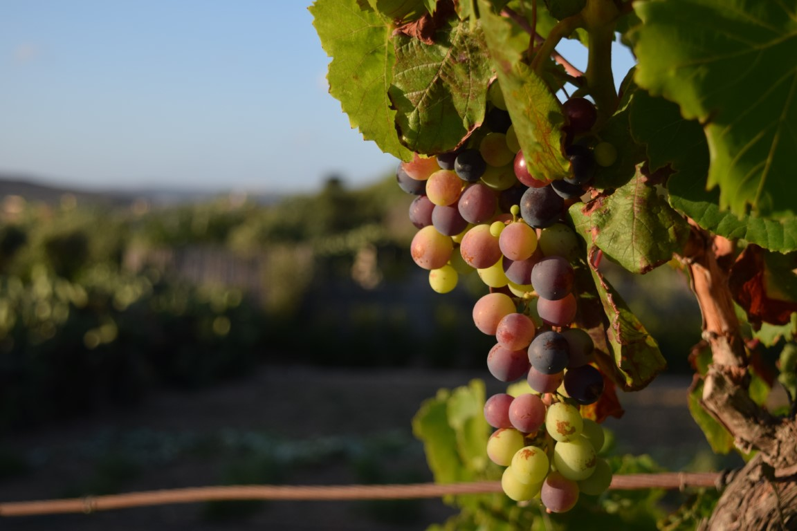A closeup of grapes on a tree in a vineyard under the sunlight in Malta with a blurry background